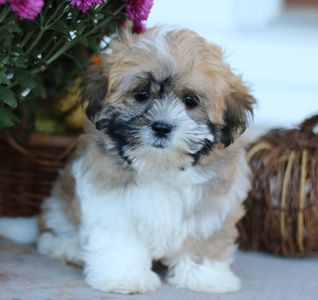 Malshi puppies for sale, Mal-shi puppies for sale, Mal-shi puppies for sale near me, shichon puppies