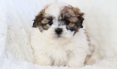 Shichon puppies for sale, Teddybear puppies for sale, zuchon puppies for sale,  Shichon puppies,