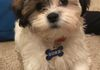 Timbercreek Shihpoo Puppy, Shihtzu mix puppy , poodle mix puppy.  Please visit our Shih Poo puppy for sale page for additional information.