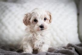 Maltipoo Breeder in Iowa, Teddy Bears, Poodle Mix Puppies for sale, Maltipoo puppies for sale