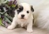 "Shichon, Teddybear Timbercreek Puppies,  Shichon ""Teddybear"" puppy, Zuchon puppy, shihtzu mix.  Please visit our available shichon puppies for Sale."