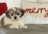 "Shichon, Zuchon or Teddybear Timbercreek Puppies,  Shichon ""Teddybear"" puppy, Zuchon puppy, shihtzu mix.  Please visit our available shichon puppies."