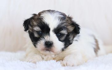 images of Shichon puppies for sale, Teddybear puppies for sale, zuchon puppies for sale,