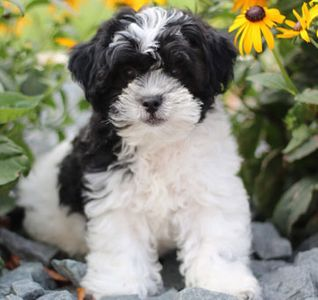 Home Page for TimberCreek Puppies,Shihpoo Puppies for Sale