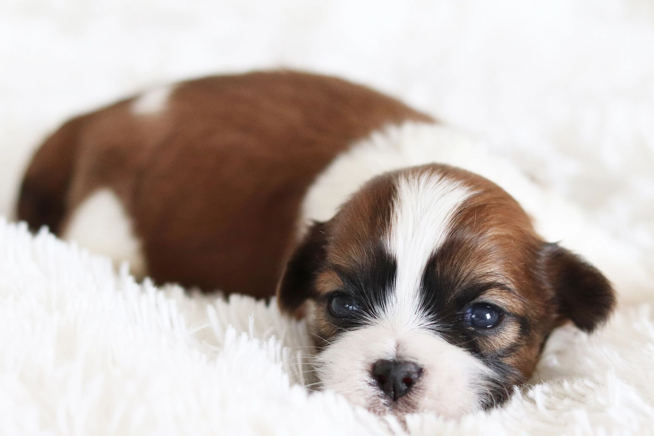 TeddyBear Puppies ForSale | TimberCreek Puppies