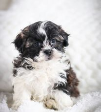 Shihpoo puppies for sale, shihpoo puppies, poodle mix puppies for sale, pood mix puppies, shichons