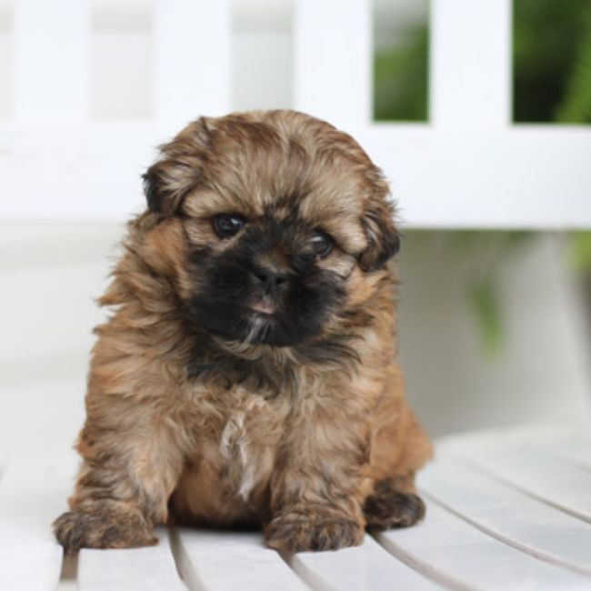 Shichon puppies for sale, Shihpoo puppies for sale, Teddybear puppies for sale, maltipoo puppies,