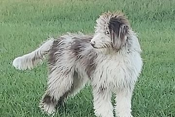 Aussiedoodle, dog breeding, puppies, shed-free dogs, golden doodle