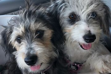 Aussiedoodles, shed-free dogs, puppies for sale, doodles