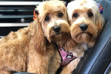Mini Golden doodle,  dog breeding, puppies, shed-free dogs