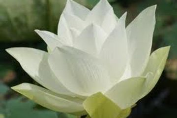 Guided Meditation, Yoga & Counseling Phone/Skype. 60:00 minutes Lotus Healing Sanctuary One to One~