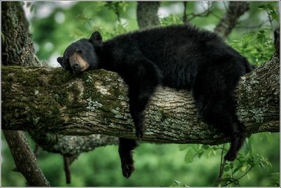 GSMNP Sleeping Bear