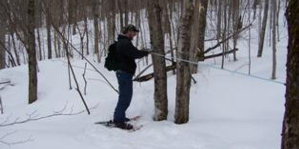 sugarbush, tapping trees, maple syrup