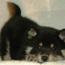"Alt=""purchase and puppy information shiba inc"""