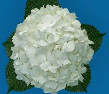 Flower District NYC Wholesale Flowers  Flower Supply Flower Market NYC hydrangea