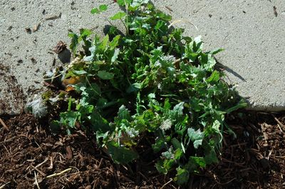 Weeds which thrive, they are competition for water, nutrients, and sunlight!