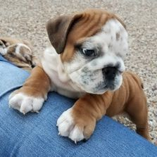 tiny cute bulldogs for sale