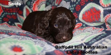 Three week old Australian Labradoodle puppy.