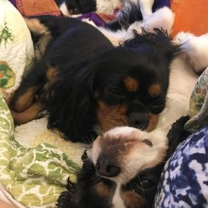 ckcs puppies  Hobby breeder boston massachusetts Blenheim, tricolor, ruby, black and tan, puppy, cavalier, King Charles cavalier spaniel, purebred