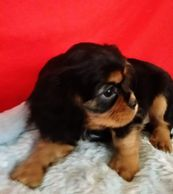 black and tan, puppy, cavalier, King Charles cavalier spaniel, purebred, CKCS, cute, girl, pup