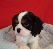 tricolor, CKCS, puppy, cavalier, King Charles cavalier spaniel, purebred