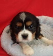 tricolor, puppy, cavalier, King Charles cavalier spaniel, purebred, CKCS, cute, boy, pup, adopt