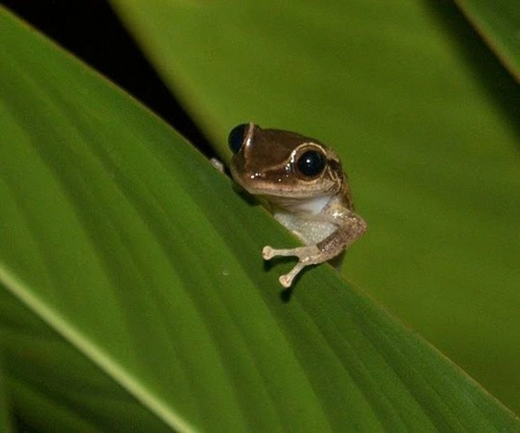 The Puerto Rican coqui (pronounced ko-kee) is a small frog that's the size of a thumbnail but with a BIG VOICE! This is why the coquí is the perfect national symbol for Puerto Rico: small island, small frog, BIG VOICE.