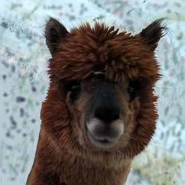 vicuna markings, soft alpaca , friendly, visitors, Hubbardton, Vermont