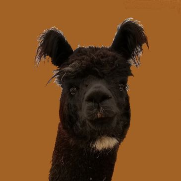 Black alpacas, Hubbardton, Vermont, near battlefield and state parks, visitors, yarn, roving