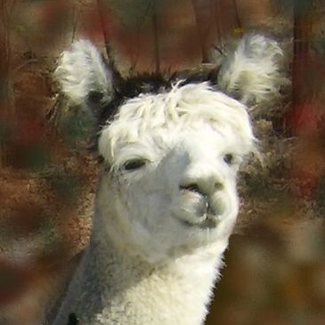 Adopt an alpaca, Vermont, Hubbardton, friendly alpacas