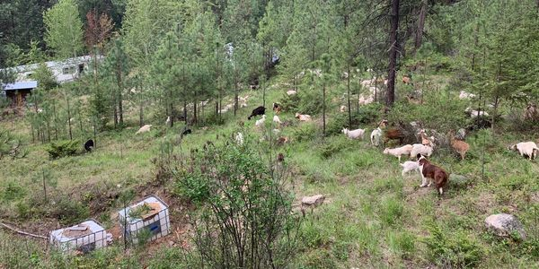 Timber Goats browsing Urban Wildland Interface reducing fuel surrounding residential buildings.