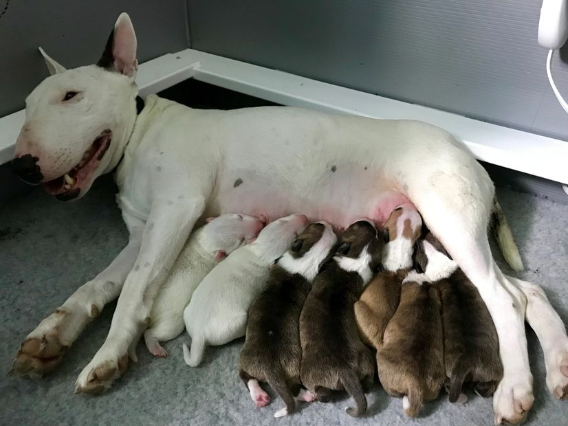 July. 8 2019 Amarantine & Thunderally Miniature Bull Terriers welcomed 7 healthy puppies!
