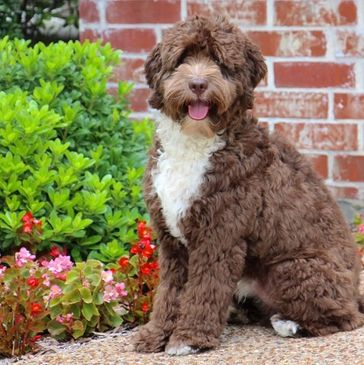 Dixie's Doodles - Labradoodle, Puppies, Breeder