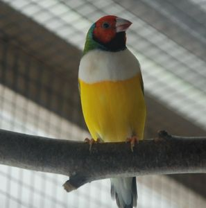 Red head, white breast, green back lady Gouldian finch male