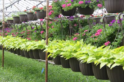 sweet potato vine and lantana hanging baskets over ground cover bedding plants