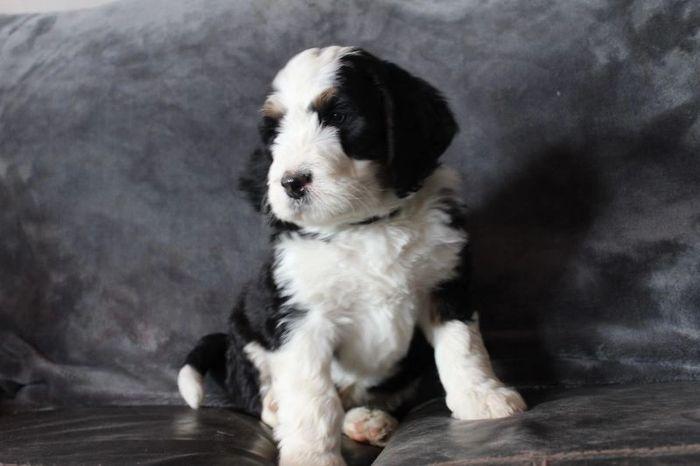 Lmt Bernedoodles Bernedoodle Pets Puppies