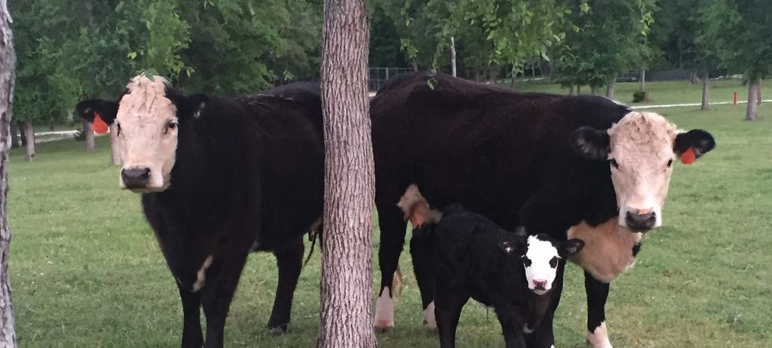 "The ""NEW"" color of Herefords"