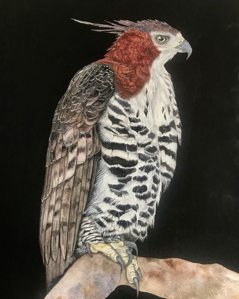 Watercolour painting of a Hawk Eagle. Wildlife art of nature