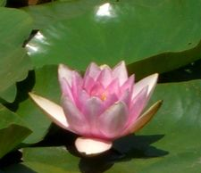 The lotus--a symbol of peace