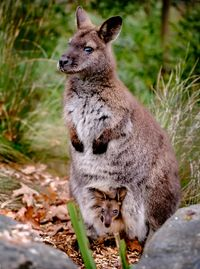 Walk with wallabies and other wildlife