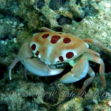Sharks Cove Tidepools are a critical marine nursery full of amazing critters like this 7-11 crab