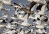 Flyout of Snow Geese