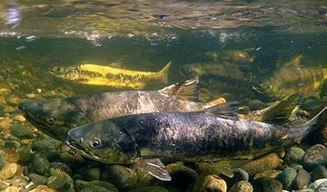 Salmon swimming in the Sooke River with West Coast Outdoor Adventure