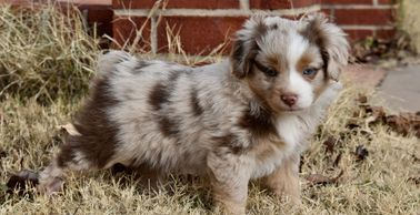 Red merle female toy Aussie puppy