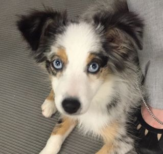 blue merle toy aussie