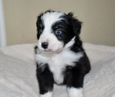 blue eyed tri toy aussie