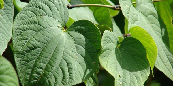 Kava plant. Only the roots are harvested to make kava tea. The leaves of the Kava plant are toxic.