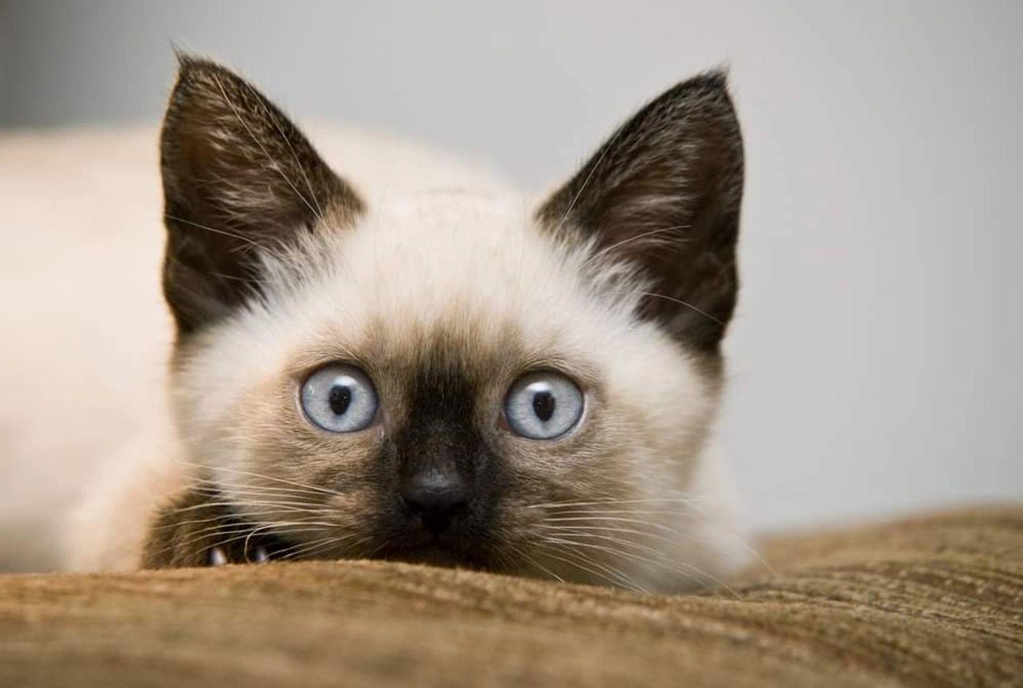 Blue S Mews Siamese Cat Rescue Cat Adoptions Cat Rescue