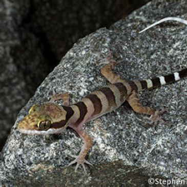 A ring-tailed gecko, pic by Stephen Zozaya in Black Mountain (Kalkajaka) National Park, Queensland.
