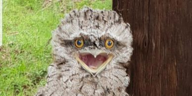 With their nocturnal habit and owl-like appearance, Tawny Frogmouths are often confused with owls,